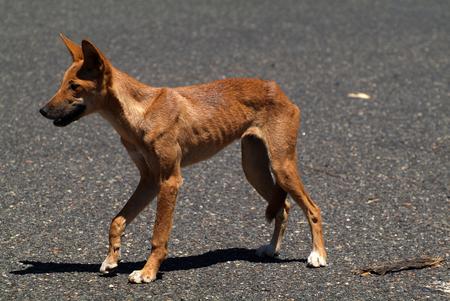 Australia, endemic dingo in Australians outback Stock Photo