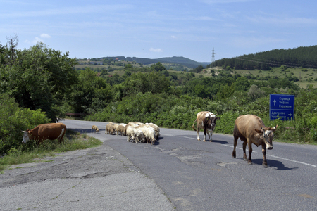 Bulgaria, cattles and flock of sheep on country road