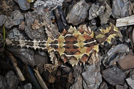 Australia, Thorny Devil aka thorny lizard