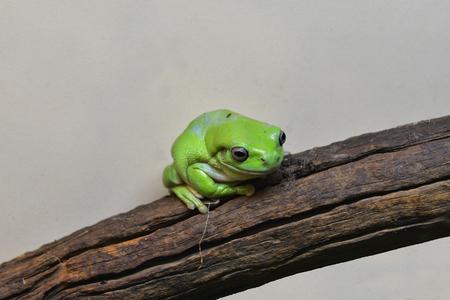 Australia, Australian green tree frog