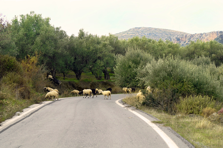 Greece, Crete, flock of sheep on mountain road