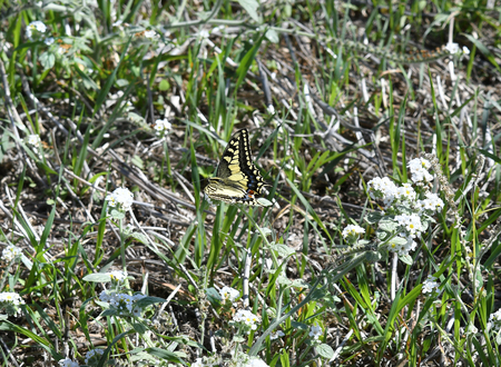 Greece, old world swallowtail butterfly