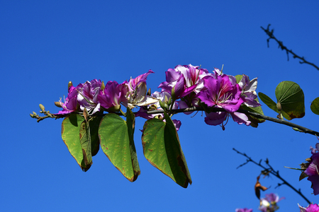 Spain, Canary Islands, Tenerife, flowering orchid tree Stock Photo