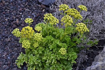 Spain, Canary Islands, Tenerife, Astydamia latifolia aka Canary Samphire plant endemic on Canary Islands