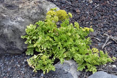 Spain, Canary Islands, Tenerife, Astydamia latifolia aka Canary Samphire plant on lava gravel, endemic on Canary Islands