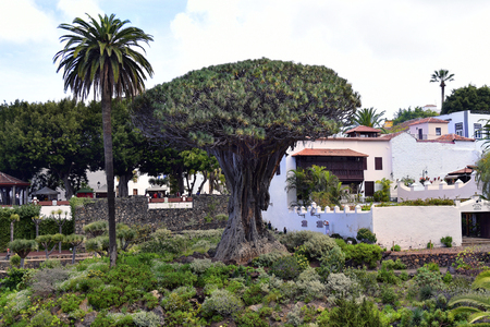 Tenerife, Canary Islands, Spain - April 04, 2018: Unidentified tourists and the oldest dragon tree situated in Icod de los Vinos village