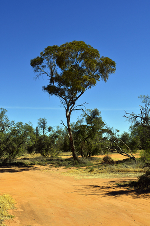 Australia, unsealed road and eucalyptus tree