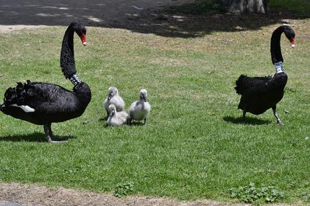 Australia, black swan with cygnets in Albert Park in Melbourne