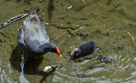 Australia, common moorhen with fledgling 版權商用圖片