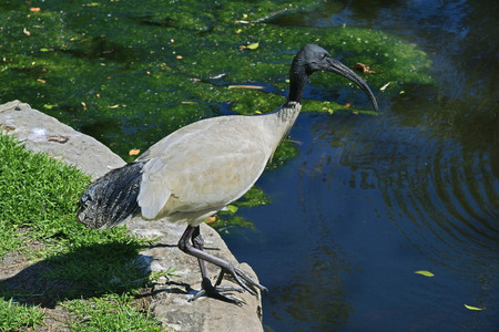 Australia, black-headed ibis on pond in Royal Botanic Garden, Sydney Standard-Bild - 118981122