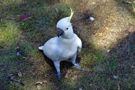 Australia, sulphur crested cockatoo