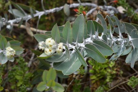 Australia, white flowering eucalyptus Standard-Bild - 118981165