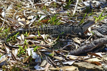 Australia, eastern water dragon in Manly Standard-Bild - 118981168