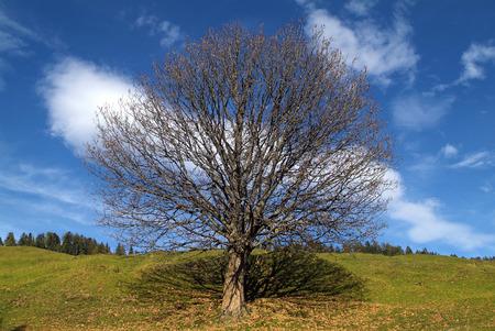 Austria, tree on alp in Carinthia Standard-Bild - 118981169