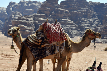 Jordan, two camels used for tourists in Wadi Rum Standard-Bild - 118981172