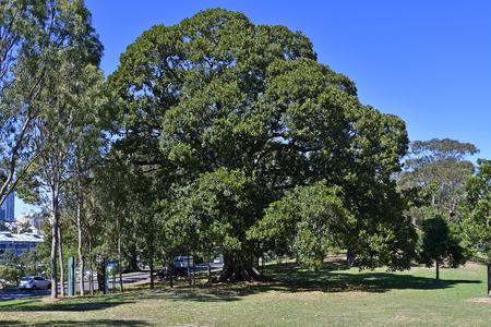 Australia, old fig tree on Macquarie road on edge of public Royal Botanic Garden Standard-Bild - 118981209