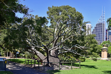 Australia, old Queensland bottle tree in public Royal Botanic Garden with choragic monument of Lysicrates and office buildings Standard-Bild - 118981240