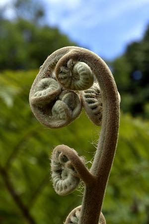 Australia, involute fern branch Standard-Bild - 118981284