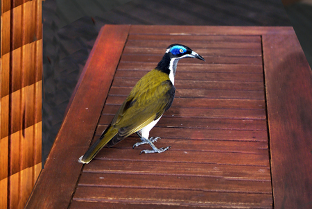 Australia, Blue faced Honeyeater Standard-Bild - 118981308