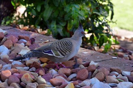 Australia, crested pigeon Standard-Bild - 118981481