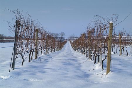 Austria, vineyard in Winter Standard-Bild - 118981483