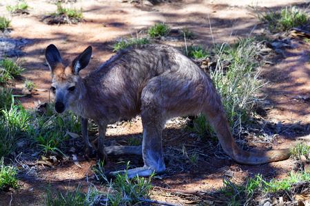 Australia, NT, kangaroo on Bradshaw walk in Alice Springs Standard-Bild - 118981492