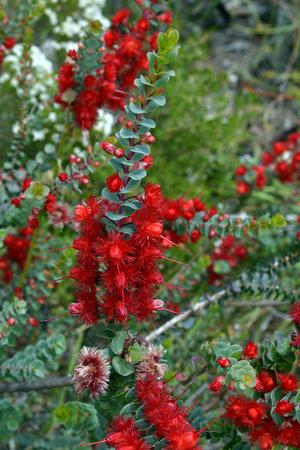 Australia, Scarlet Featherflower Standard-Bild - 118981494