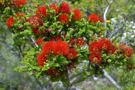 Australia, sand bottlebrush Standard-Bild - 118981507