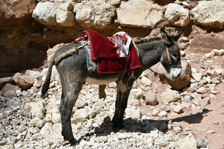 Jordan, donkey for tourist tarnsport in Unesco World Heritage site of ancient Petra