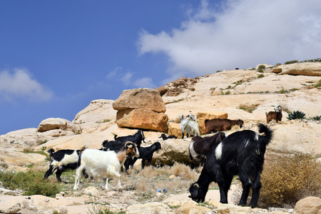 Jordan, goats on rocks along the Siq, way to ancient Petra