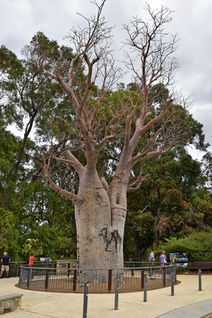 Perth, WA, Australia - November 29, 2017: Unidentified people and Boab tree in public Kings park Редакционное