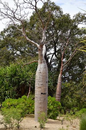Australia, Perth, baobab tree in public Kings park