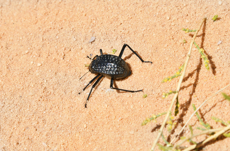 Jordan, Wadi Rum, darkling beetle 版權商用圖片 - 123313418