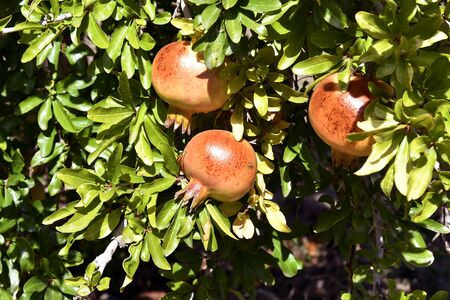 Greece, pomegranate tree with fruits
