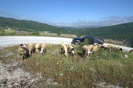 Greece, Epirus, flock of sheep on mountain road in National Park of Tzoumerka, Peristeri, Arachthos
