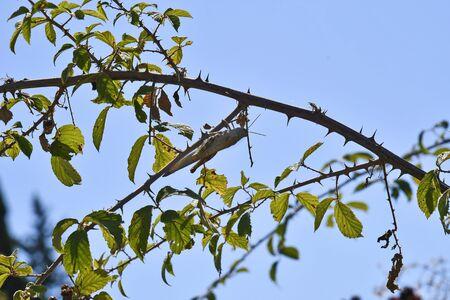 Greece, grasshopper hiding on a thorn bush 版權商用圖片