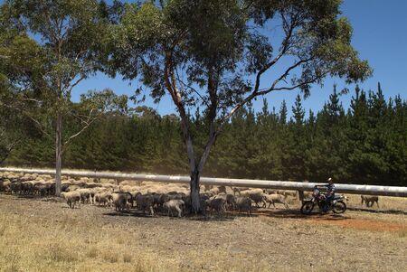 Hawker, Australia - January 28, 2008: Unidentified farmer on motor bike, a motorized shepherd for flock of sheep 新聞圖片