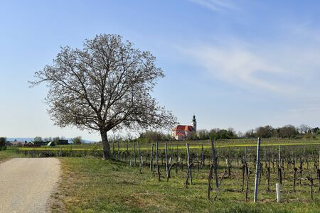 Austria, sprouting Persian Walnut tree and vineyards with church in background in agricultural landscape of Reisenberg, Lower Austria