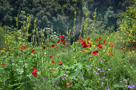 Greece, Epirus, flowering meadow with poppy flowers and common mullein in National Park of Tzoumerka, Stock Photo