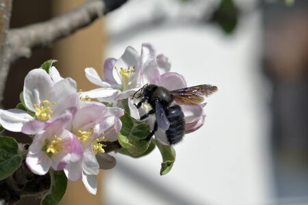 violet carpenter bee on blossom of an apple tree