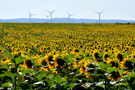 Austria, filed with sunflowers and wind turbines in background Archivio Fotografico