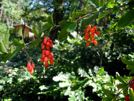 Austria, shrub with fresh berries of Berberis vulgaris aka common barberry, the berries are edible but mostly acidic and used for cooking, food and marmalade