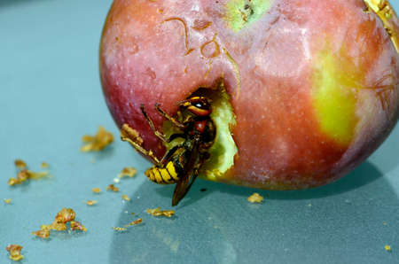 Austria, European Hornet eat an apple