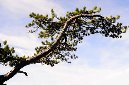 Austria, tree branch of a black pine