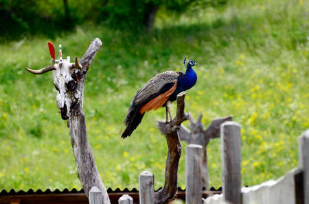 Zoology, Peacock in a farm in South Tyrol 写真素材