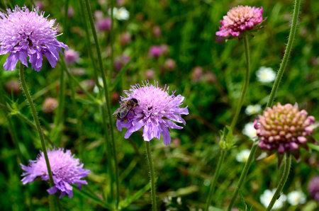 honey bee on field scabious flower