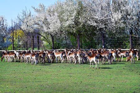 Austria, enclosure with flock of sika deer and flowering hedge in spring Standard-Bild