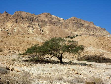 single tree in Negev desert, Israel photo