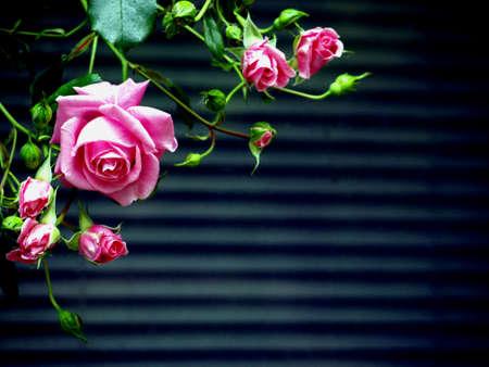 lamellar: Rose before lamellar blind Stock Photo