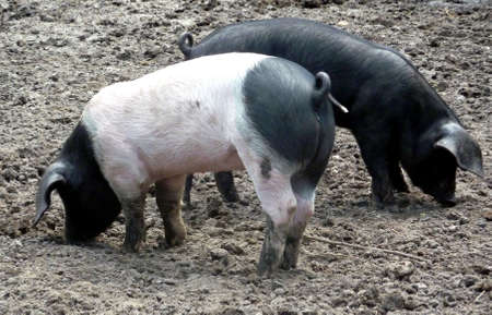 piglets: two piglets - black and white